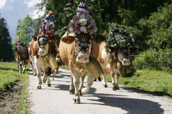 Cattle herding week with an evening of traditional dress