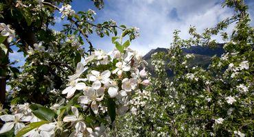 Wanderwochen zur Apfelblüte